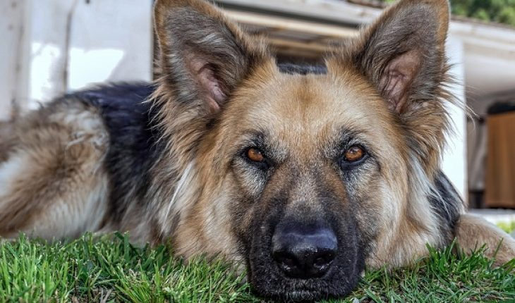 Uccidono cane lupo con un fucile, padre e figlio finiscono nei guai